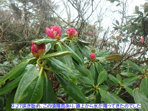 アズマシャクナゲ (4).JPG
