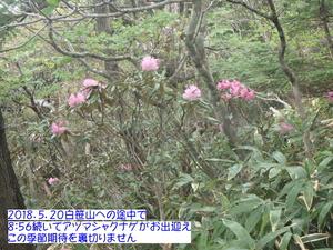 アズマシャクナゲ (2).JPG