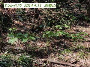 エンレイソウ (2).JPG