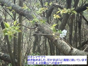 オオシマザクラ.JPG