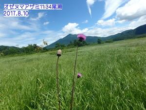 オゼヌマアザミ.JPG