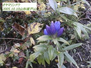 オヤマリンドウ3.jpg