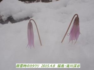 カタクリ (2).JPG