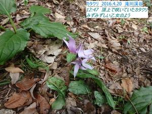 カタクリ5.JPG