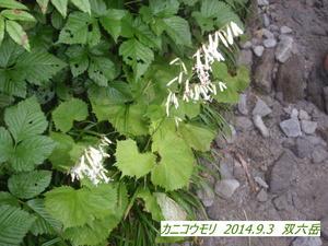 カニコウモリ (2).JPG