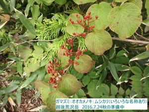ガマズミ・オオカメノキ・ムシカリ.JPG