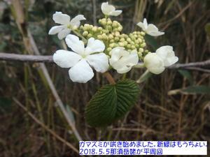 ガマズミ・ムシカリ.JPG