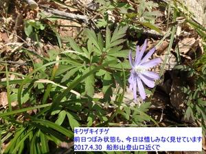 キクザキイチゲ1.JPG
