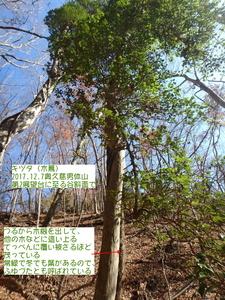 キヅタ(木蔦).JPG