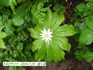 キヌガサソウ (2).JPG