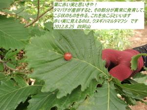 クヌギハマルタマフシ.JPG