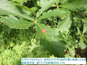 クヌギハマルタマフシ1.JPG