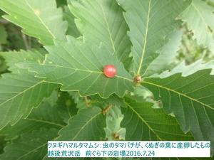クヌギハマルタマフシ2.JPG