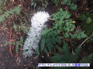 サラシナショウマ (2).JPG