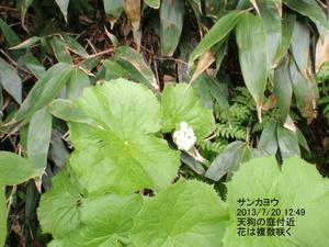 サンカヨウ (2).JPG
