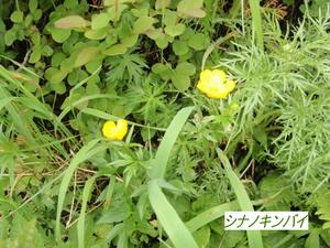 シナノキンバイ.JPG