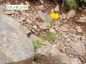 シナノキンバイ (2).JPG