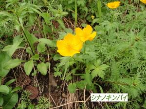 シナノキンバイ (3).JPG