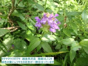 タテヤマウツボグサ.JPG