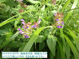 タテヤマウツボグサ1.JPG