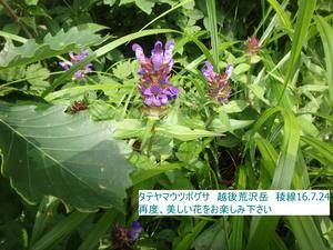 タテヤマウツボグサ2.JPG