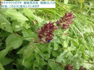 タテヤマウツボグサ:花後2.JPG