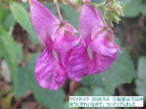 ツリフネソウ (2).JPG