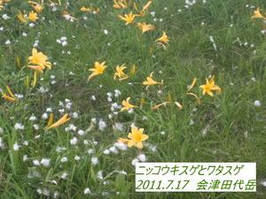 ニッコウキスゲ (3).JPG