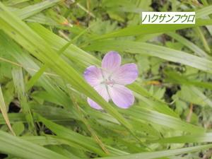 ハクサンフウロ.JPG