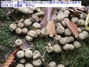 ホコリタケ.JPG