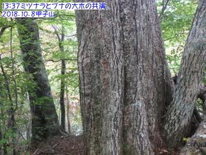 ミズナラ,ブナ 甲子山.JPG