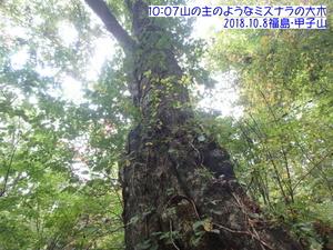 ミズナラ甲子山.JPG