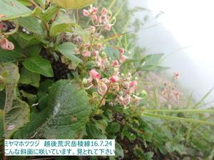 ミヤマホツツジ2.JPG