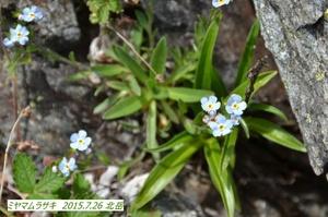 ミヤマムラサキ.jpg