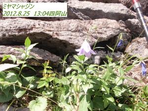 ミヤヤシャジン四阿山.JPG