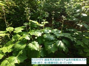 モミジハグマ4.JPG