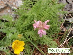 ヨツバシオガマ (3).JPG